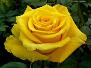 Significato rosa gialla