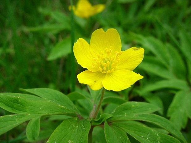 Amenone gialla