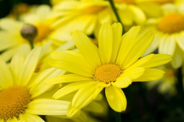 Arnica gialla