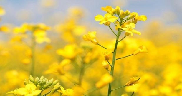 Colza gialla
