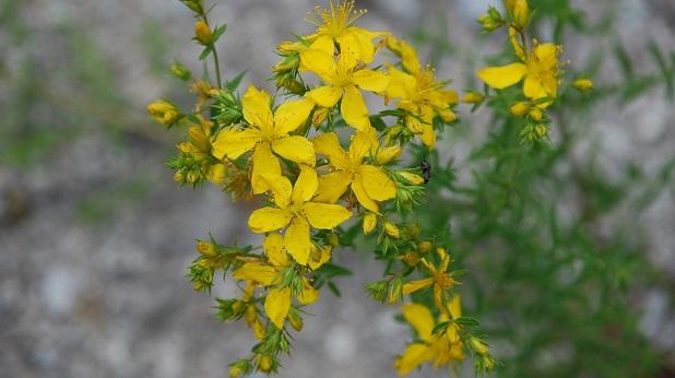 Iperico giallo