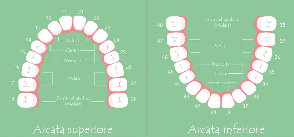 Nomi dei denti incisivi canini premolari molari e for Nomi dei gemelli diversi