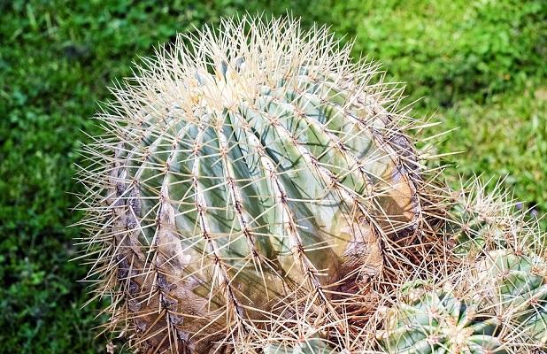 Piante grasse Cactaceae