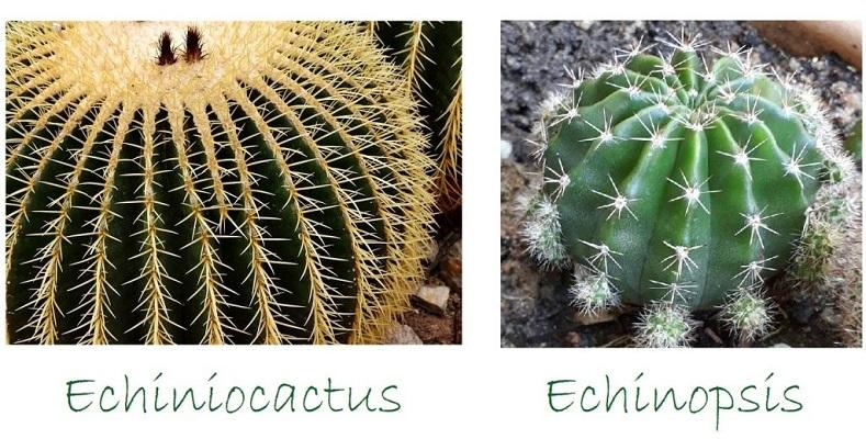 Piante grasse Echiniocactus e Echinopsis