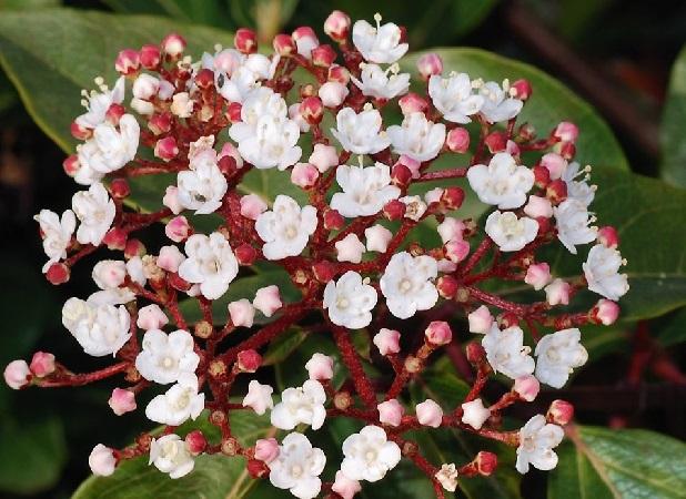 Viburnum Tinus bianco