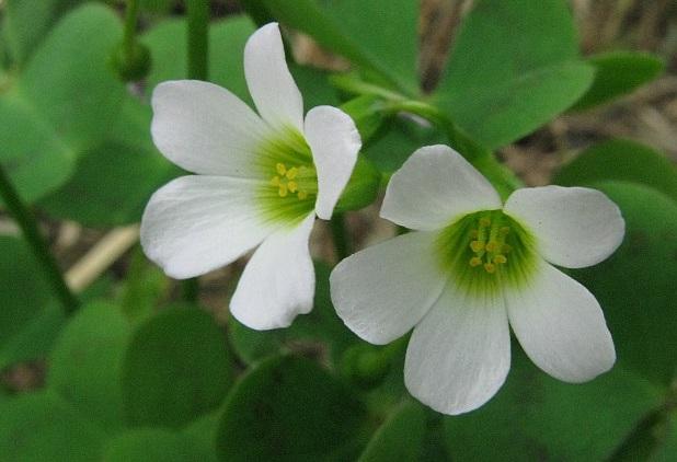 Acetosella bianca