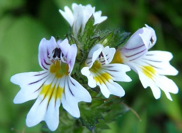 Eufrasia bianca