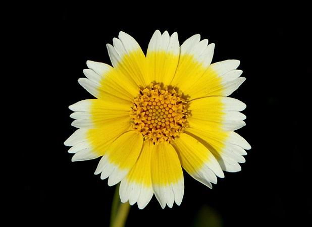 Layia Platyglossa bianca