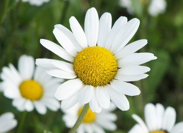 Margherita bianca
