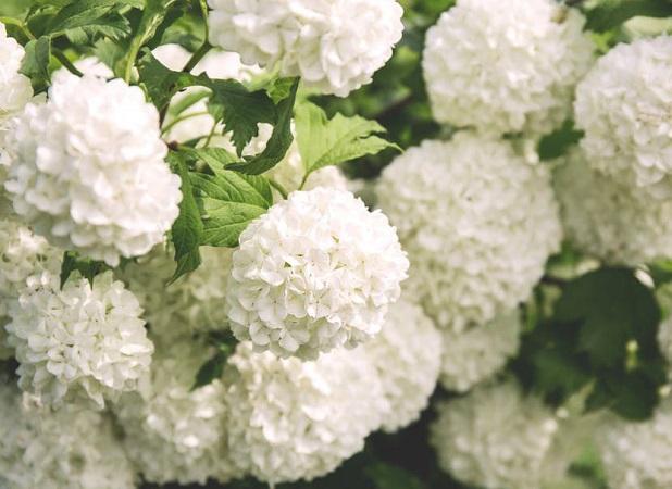 Fiori bianchi nomi caratteristiche origine immagini for Nomi di fiori bianchi
