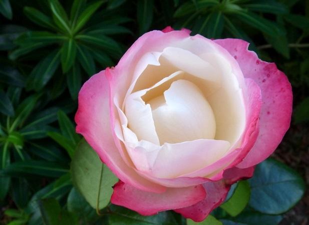 Rose bicolore bianche e rose